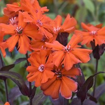 'Orange Gnome' Maltese Cross