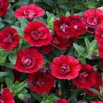 'Double RED'  Calibrachoa