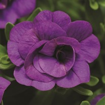 'Double Amethyst'  Calibrachoa
