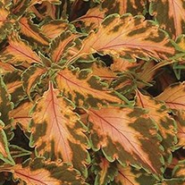 'Beauty of Lyon'  Coleus
