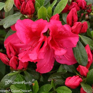 Azalea Bloom-A-Thon® Red