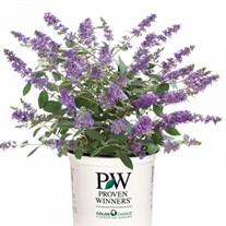 Lo & Behold® 'Blue Chip Jr.' Butterfly Bush