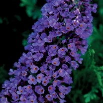 'Ellen's Blue' Butterfly Bush