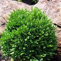 Boxwood 'Green Velvet'