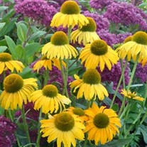 'Dixie Sun'  Coneflower