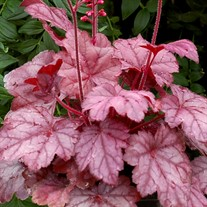 'Grape Soda™' Coral Bells