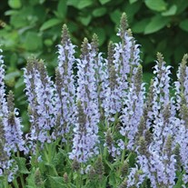 Salvia n. 'Crystal Blue' PPAF