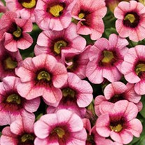 Superbells® Strawberry Punch Calibrachoa