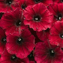 Black Cherry Supertunia®