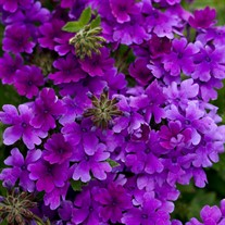 Superbena® Dark Blue Verbena hybrid