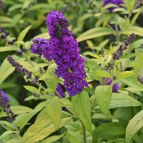 'Crown Jewels'  Butterfly Bush