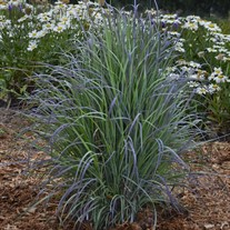 'Twilight Zone' Schizachyrium Little Bluestem