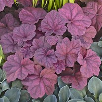 'Lava Lamp'  Heuchera Coral Bells