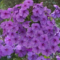 Phlox 'Flame® Purple'  Tall Phlox