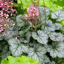 Heuchera Little Cutie™ 'Peppermint'