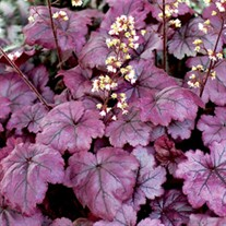 Heuchera 'Plum Royale' Coral Bells
