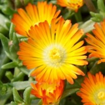Delosperma Wheels of Wonder® Orange