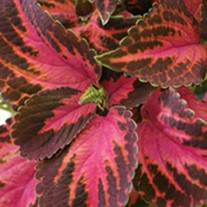 ColorBlaze® Kingswood Torch - Coleus