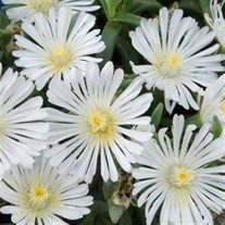 'White Wonder' Wheels of Wonder® Ice Plant