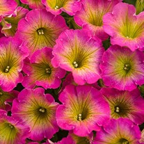 Supertunia® 'Daybreak Charm'