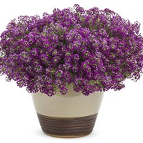Dark Knight™ Sweet Alyssum Lobularia hybrid