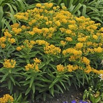Butterfly Weed Hellow Yellow