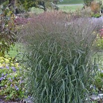 Prairie Winds™ 'Apache Rose' - Switch Grass