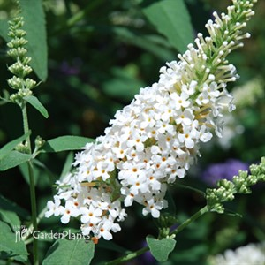 Buzz 'Ivory White' Butterflybush
