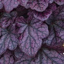 'Grape Expectations'  Coral Bells
