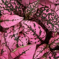 Pink Splash  Polk a dot plant