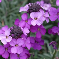 'Bowles Mauve' Wallflower