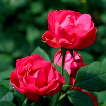 Oso Easy® Double Red Landscape Roses x