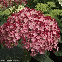 Invincibelle® Ruby Smooth hydrangea