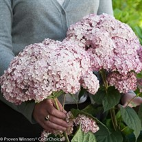 Incrediball® Blush - Smooth hydrangea