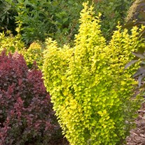 Sunjoy® Gold Pillar Barberry Berberis thunbergii
