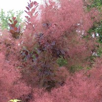 'Royal Purple'  Smokebush