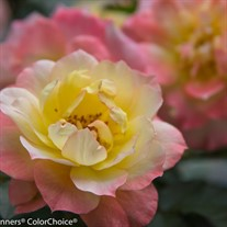 Oso Easy® Italian Ice® Landscape Rose