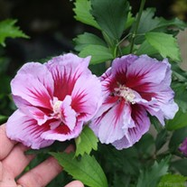 Purple Pillar™ Rose of Sharon Hibiscus syriacus