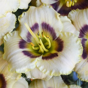 'Baby Moon Cafe'  Daylily