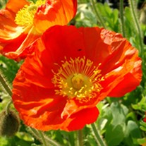 Champagne Bubbles Orange Poppy