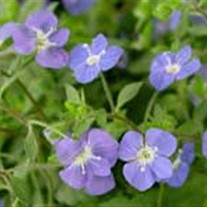 'Georgia Blue' Speedwell