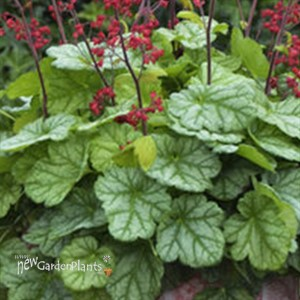 'Appletini' Coral Bells