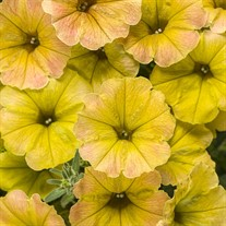 Supertunia® 'Honey'
