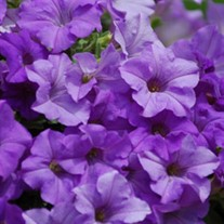 Supertunia 'Heavenly Blue'