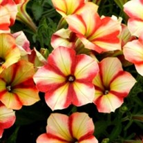 Petunia 'Crazytunia Citrus Twist'