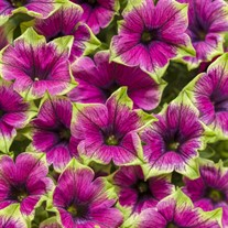 Supertunia 'Picasso in Purple'