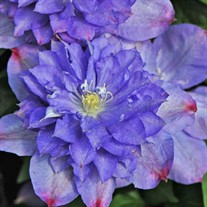 'Blue Explosion' Clematis