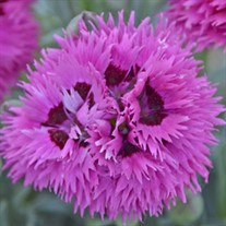 'Spiked Punch' Dianthus