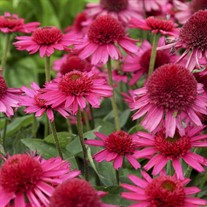 'Delicious Candy' Coneflower
