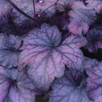 'Electric Plum' Coral Bells